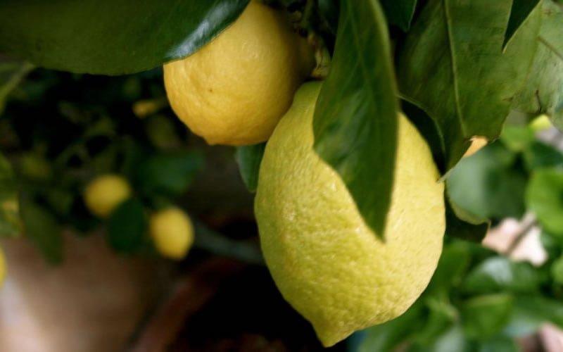 Limon Gümüşlük